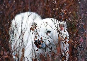 Polar bear cub in stealth mode. Dymond Lake Ecolodge. Great Ice Bear Adventure. Allison Francoeur photo.