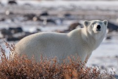 Polar bear enjoying the sun at Nanuk.