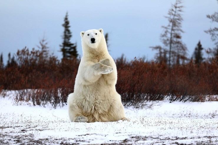 1st Place. Polar Bears. 2018 Photo Contest. Teresa McDaniel photo. Great Ice Bear Adventure. Dymond Lake Ecolodge.