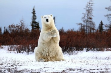 Polar-Bear_1st-Place_Teresa-McDaniel_GIB_2018b