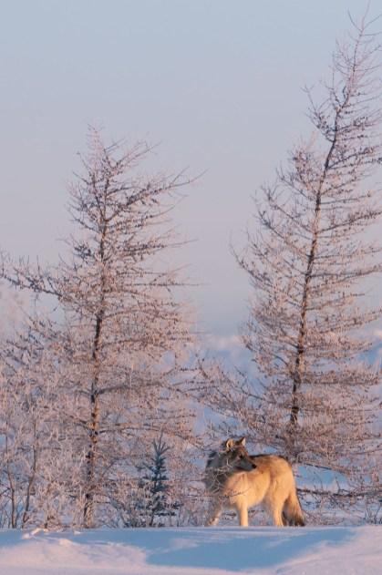 Wonderful Arctic. Churchill Wild.