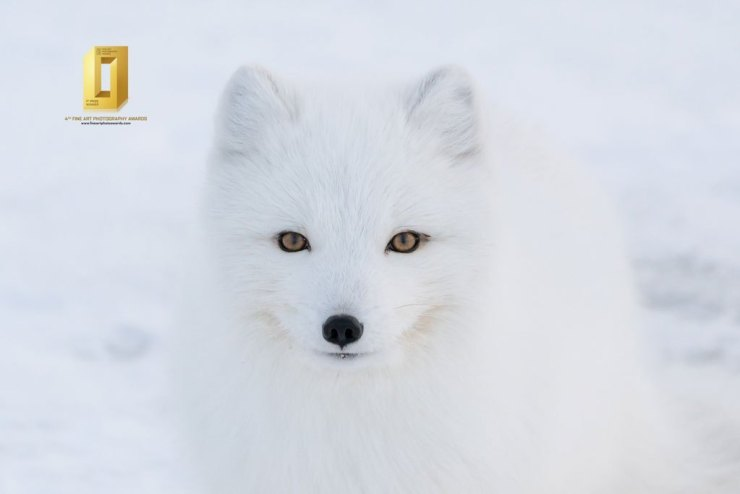 Arctic fox at Seal River Heritage Lodge. Anthony Lau photo.