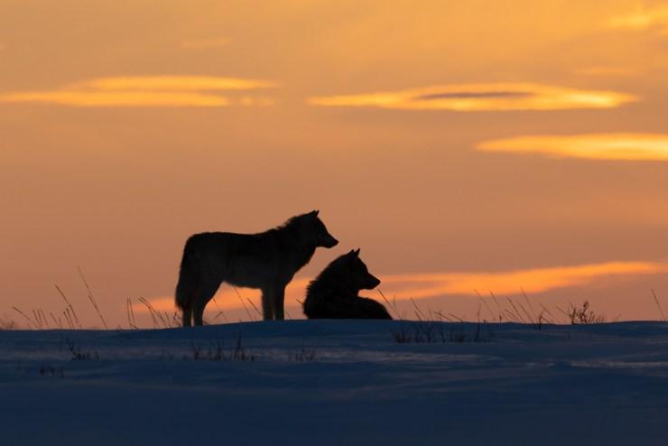 Wolf couple at Nanuk Polar Bear Lodge. Photo courtesy of ArcticWild.net.