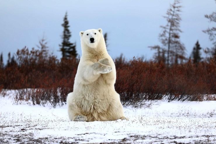 Polar bear sign language. Nanuk. Teresa McDaniel.