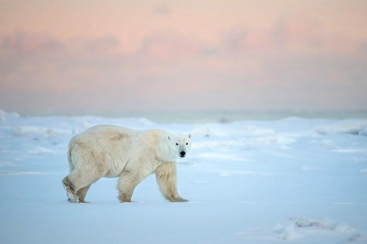Cotton candy polar bear. Fabrizio Moglia.