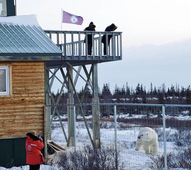 Polar bear outside the compound at Dymond Lake Ecolodge. Guest inside. Jenn Jenni photo.