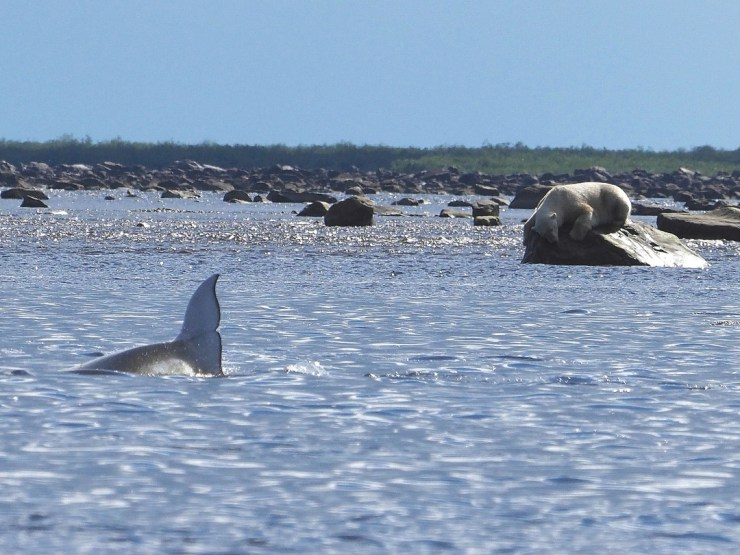 Polar bear trying to catch a beluga at Seal River. Quent Plett photo