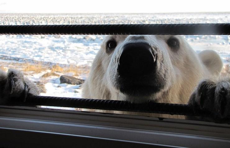 Polar bear at window. Seal River Heritage Lodge.