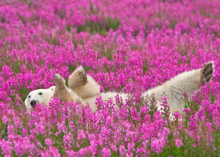 Polar bear frolicking in fireweed at Hubbard Point, north of Seal River Heritage Lodge. Dennis Fast photo.