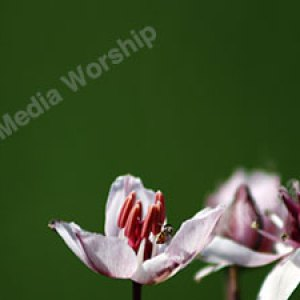 Tulip with green background Christian Worship Background. High quality worship images for use to spread the Gospel and enhance the worship experience.