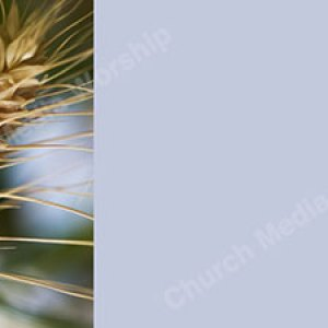 Wheat V4 skyblue Christian Worship Background. High quality worship images for use to spread the Gospel and enhance the worship experience.