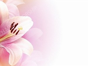 Delicate Lilium pink flower Christian Worship Background. High quality worship images for use to spread the Gospel and enhance the worship experience.
