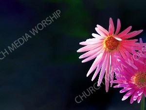 Pink aster Christian Worship Background. High quality worship images for use to spread the Gospel and enhance the worship experience.