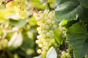 Vine grapes bunch in vineyard