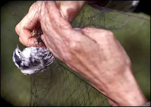 The Slave Lake Region – Bird Banding