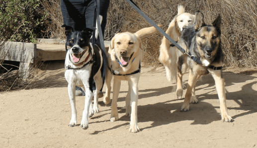 Pet Walking Services in Irvine and Newport Beach: Walking Group by CiaoCiao PetCare