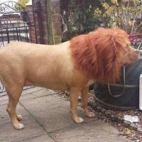Leo the Dog and Lion !