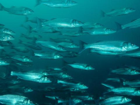 Marre des poissons gris ?