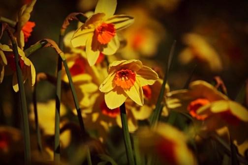 Nergis Çiçeği Anlamı