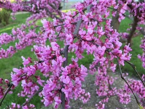 Erguvan Ağacı ve Çiçeği