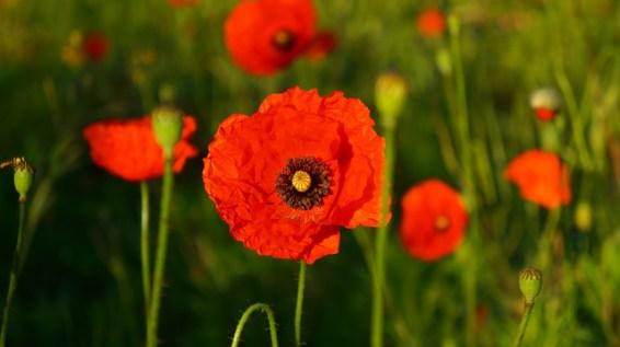 Gelincik Çiçeği Anlamı