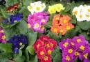 Kapalı Çuha Çiçek Türleri Bakım İpuçları
