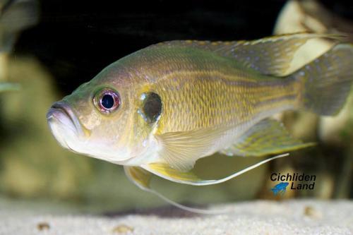 Greenwoodochromis