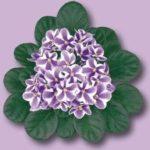 Como cuidar de Violetas Africanas