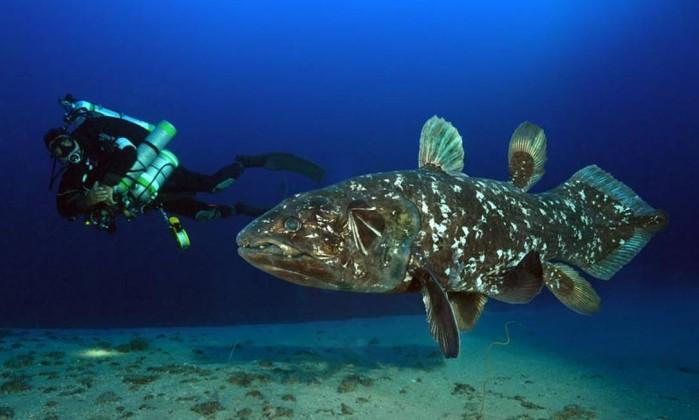 Resultado de imagem para celacantos