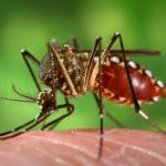 Aedes aegypti chupando sangre