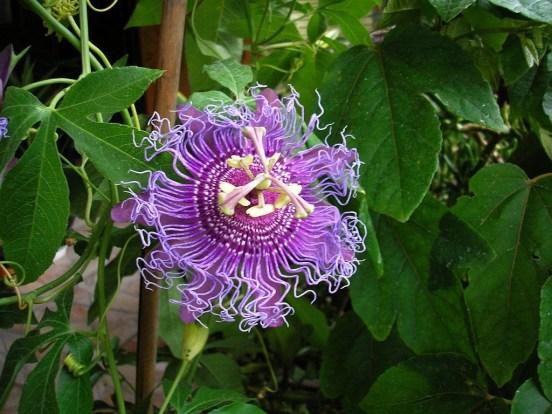 çarkıfelek bitkisi pasiflora çayı