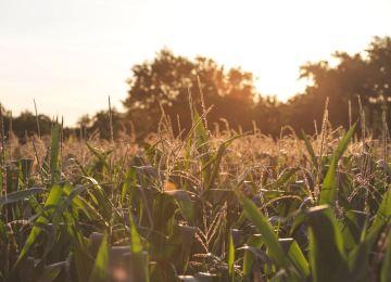 En iyi mısır nasıl üretilir bilir misin?