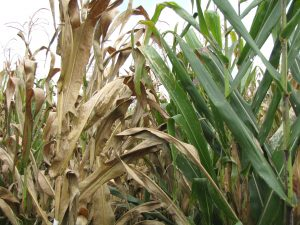 A susceptible maize variety infected with TSC (left) compared to a healthy maize plant , a resistant variety immune to the disease (right).