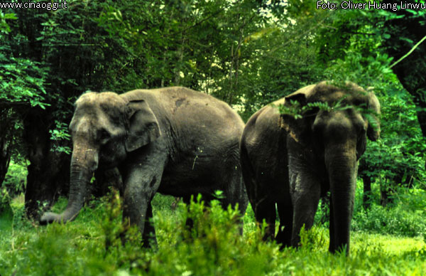 animals of China - Wild Asian Elephant
