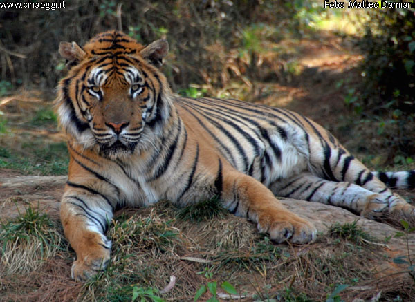 animals of China - Chinese tiger images