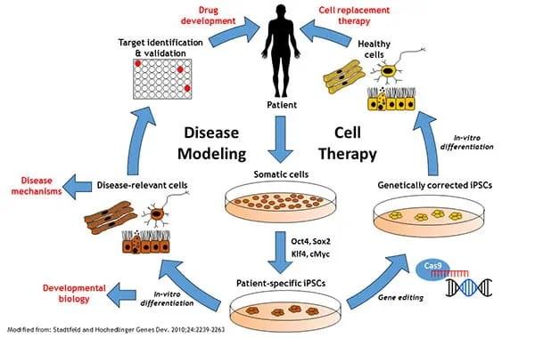 Induced Pluripotent Stem Cells (iPSCs)