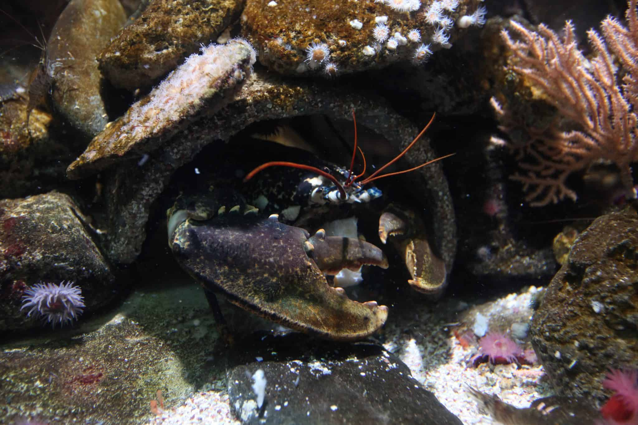 Homard d'Europe - Aquarium de Paris