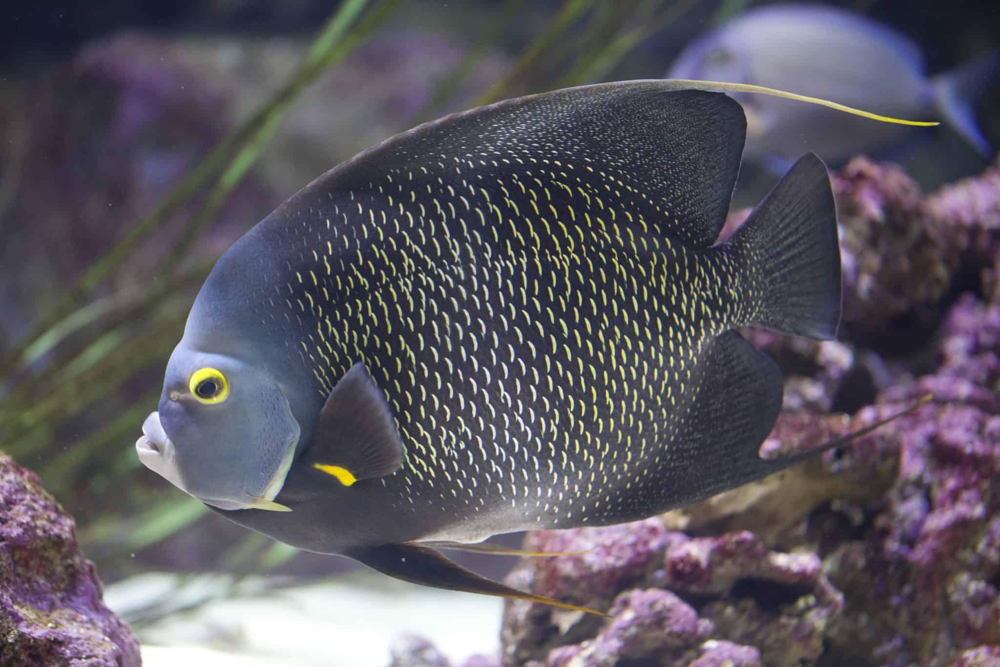 Poisson ange français - Aquarium de Paris