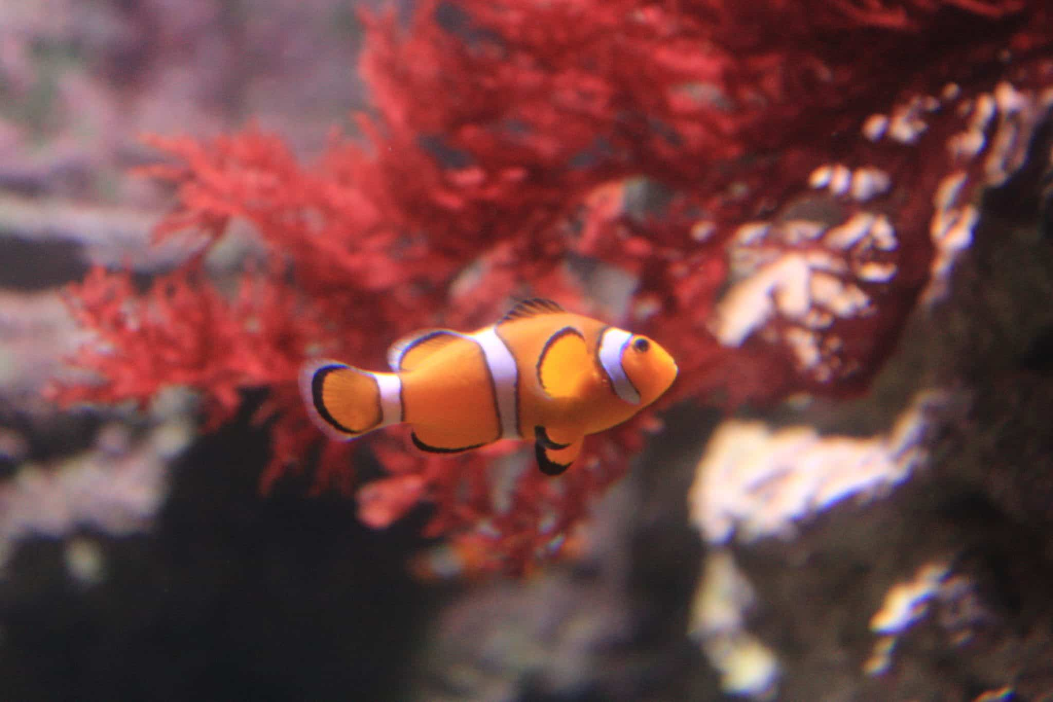 Poisson clown à 3 bandes - Aquarium de Paris