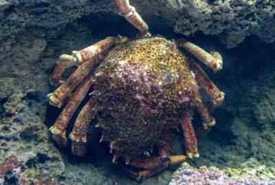Araignée de mer - Aquarium de Paris