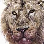lionthumb