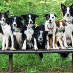 half-breed dogs