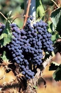 grappolo Sangiovese