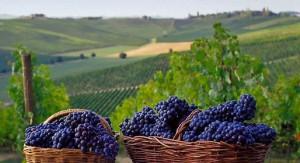 Langhe vineyards