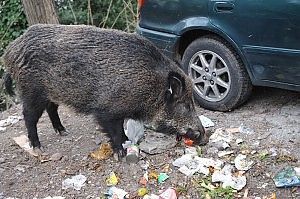 Cinghiali mangiano i rifiuti