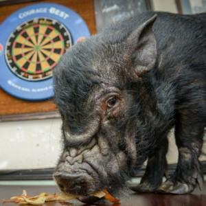 Drunken-animals-Francis-Bacon-pig-loves-beer