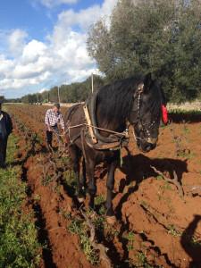 Wine -and-horses-Bruno-Gianfranco-Fino-vineyards