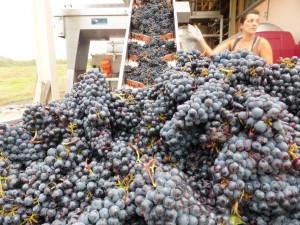 Harvest-2016-Fattoria-del-Colle