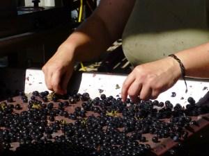 Vendemmia-2013-Brunello-riserva-tavolo-di-cernita