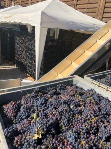 Vendemmia-2019-uva-per-lo-spumante e cassette di uva-in-appassimento-per-il passito